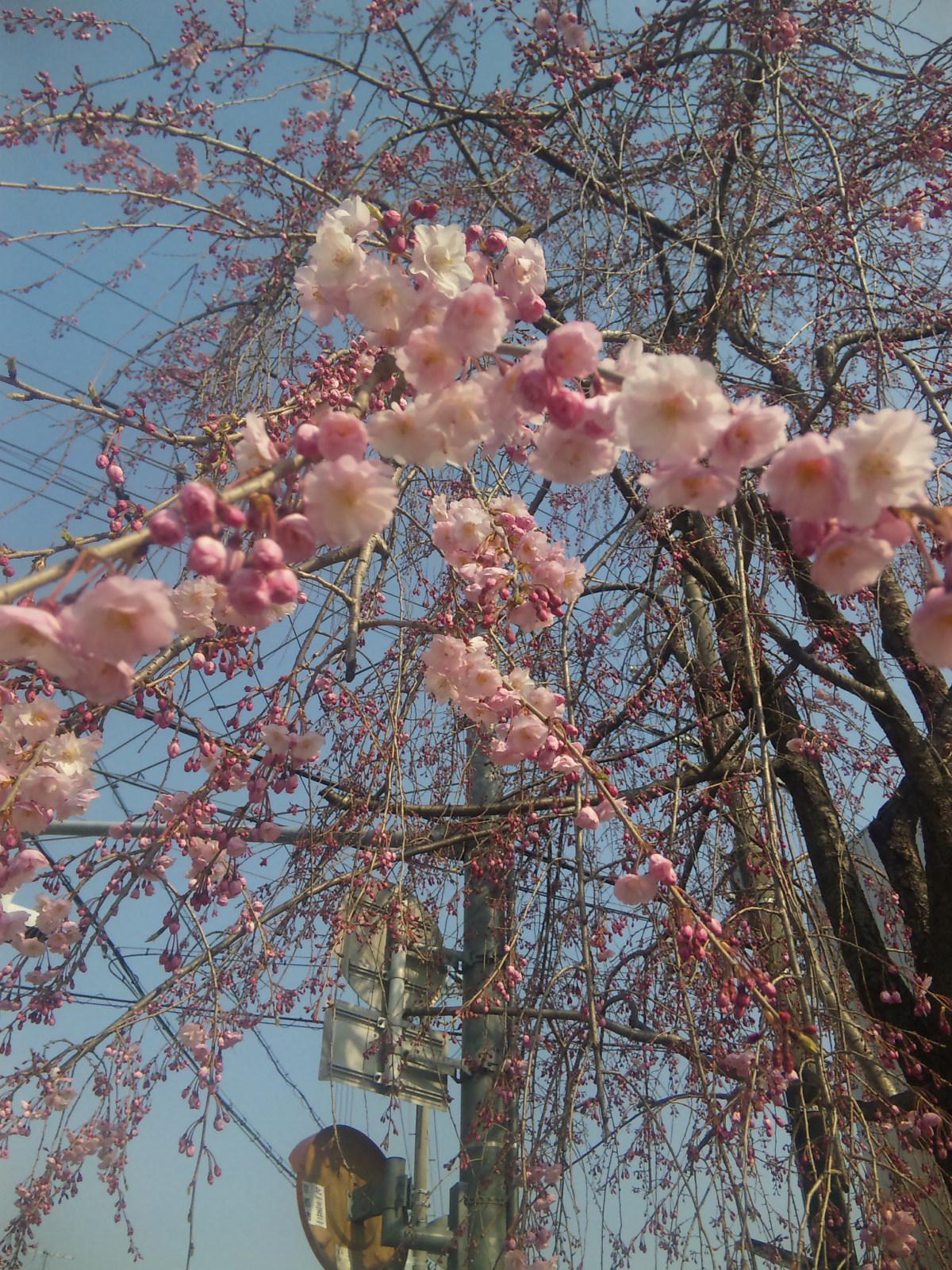 さっき見た桜